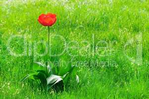 red  tulips on a green lawn