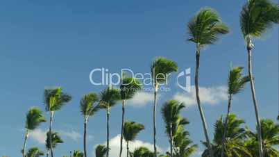 Nature scene of high palms against blue sky background