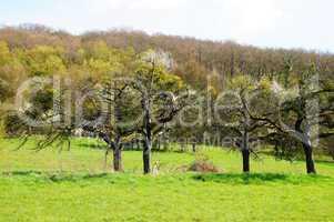 Apfelbäume mit Misteln