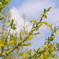 willow twigs on blue sky background