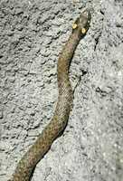 grass snake in stone