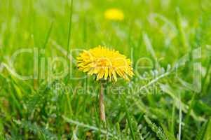 Yellow dandelions on a green meadow