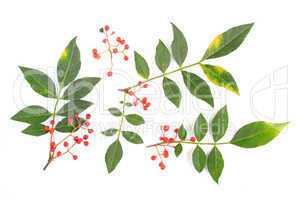 Szechuanpfeffer Zanthoxylum piperitum