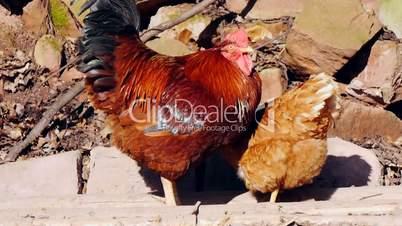 Hah und Huhn