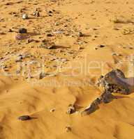 old fossil in  the desert of morocco sahara and rock  stone sky