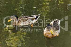 Spreewald Ducks