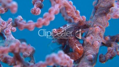 Porcelain crab in a gorgonian coral