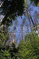 kranke Bäume im Harz