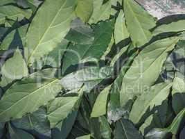 Bay tree leaf