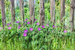 Blühende Blumen an einem Holzzaun