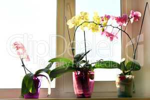 three different blossoming orchids in flowerpots