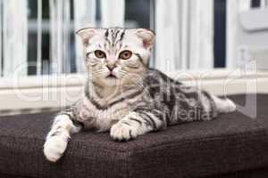 Britisches Shorthair Kätzchen