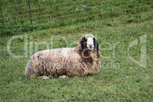 Sheep in the paddock