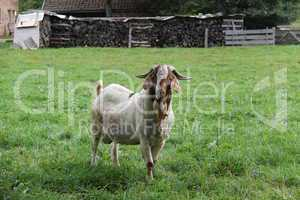 Lonely Goat on a green meadow