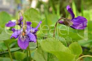 Fragrant spring Violets