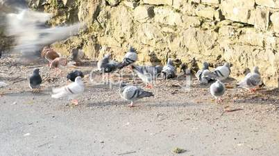 Many pigeon eating seeds