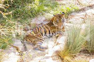 Siberian Tiger Resting in the Cool Stream