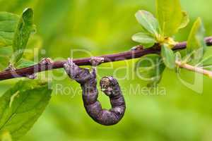 Worm / Caterpillar