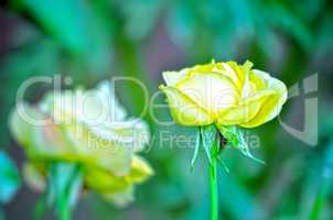 Yellow color rose flower isolate green  background