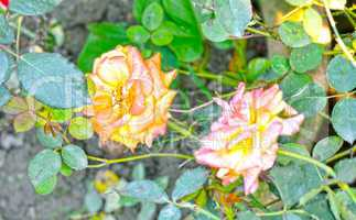 Yellow color rose flower