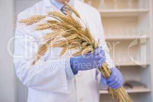 Scientist holding sheaf