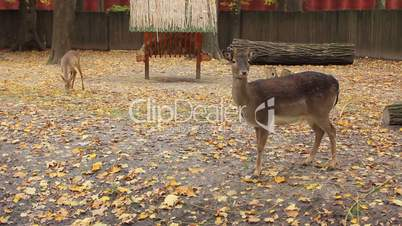 sika deer and fawn in autumn Zoo