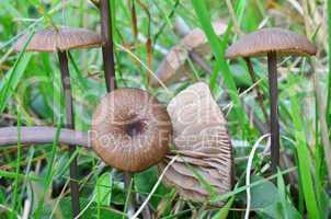 Silky Pinkgill mushrooms