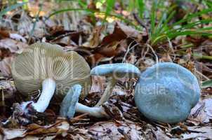 Aniseed Funnel mushrooms