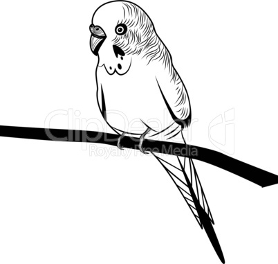 Parrot budgie bird head vector illustration for t-shirt. Sketch tattoo design.