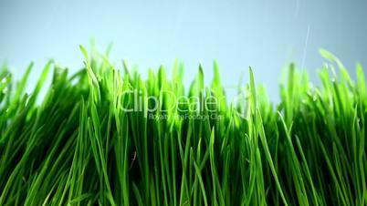 Grass under the rain