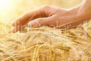 Hand streicht über Getreideähren