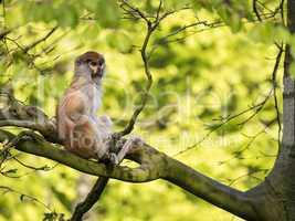 Affe auf einem Baum
