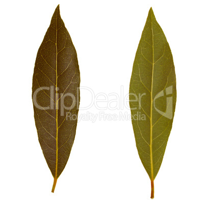 Retro look Laurel Bay tree leaf isolated