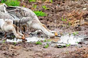 Geese gray imbibe from puddles