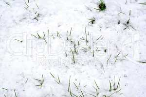 Grass green in the snow