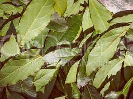Retro look Bay tree leaf