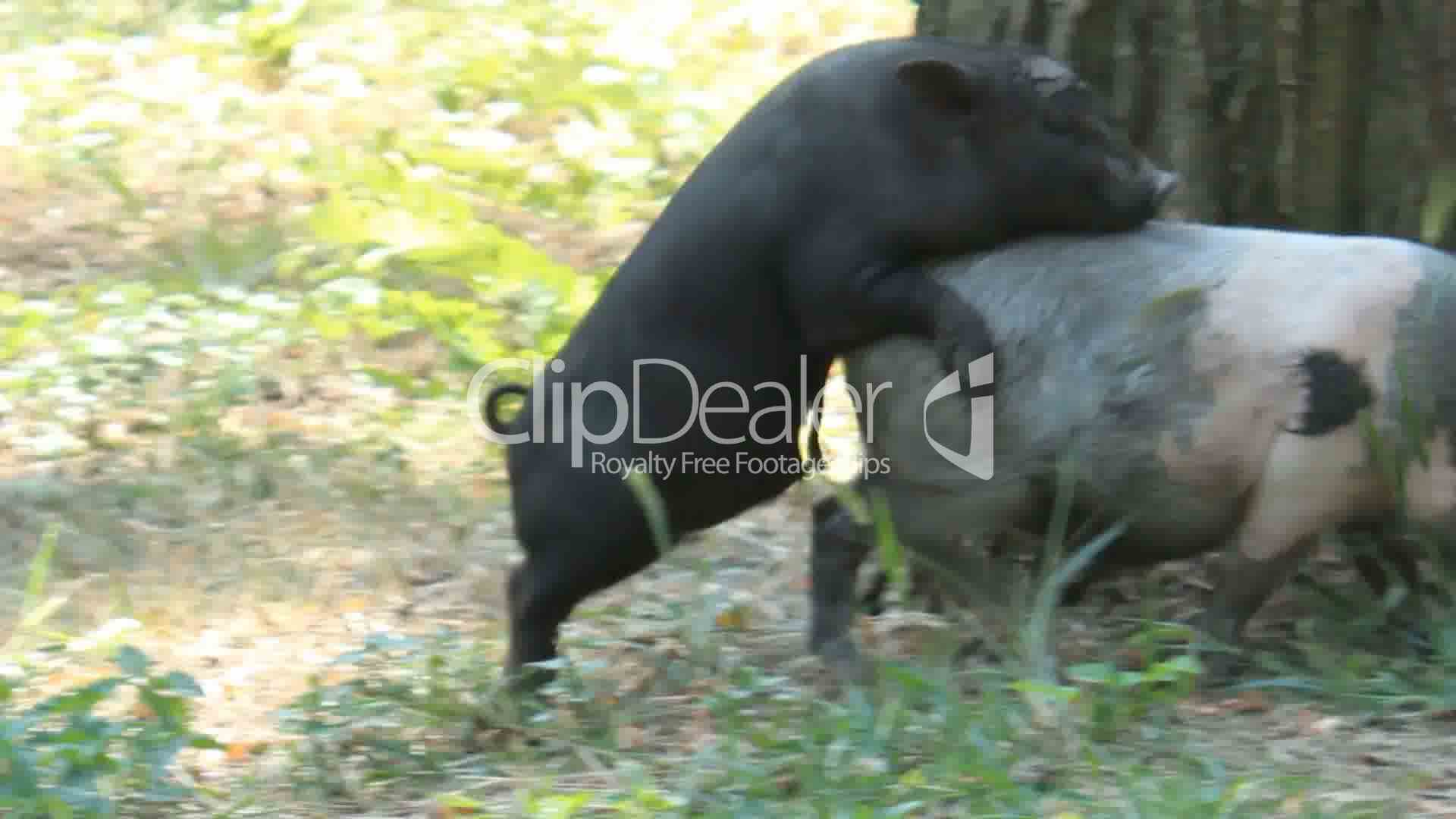 Small Pigs Sex Royalty-Free Video And Stock Footage-4925