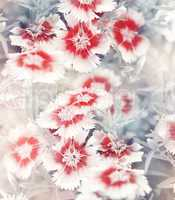 Carnation Flowers Background