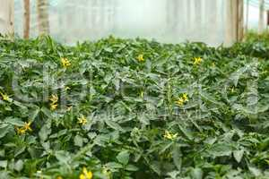 Flowering tomato seedlings before planting