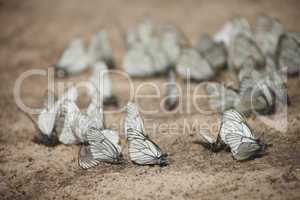 Many white butterflies