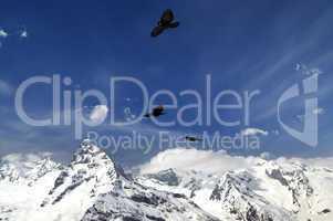 Alpine Chough (Pyrrhocorax graculus) flying in mountains
