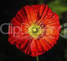 Spring fever red iceland poppy, papaver nudicaule