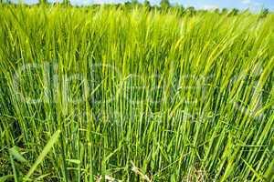 Gerste, Feld mit Jungpflanzen