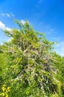 Gemeiner Weißdorn, Blüte,Crataegus laevigata