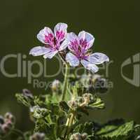 Erodium pelargoniiflorum 'Sweetheart' flowers, heron's bill