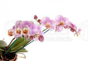 Beautiful pink orchid's.