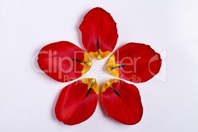 petals of red tulip
