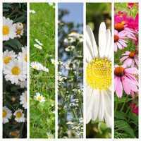 Daisy flowers set