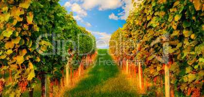 Rows of grapevine in warm sunlight