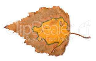 Multicolor autumn birch leaf